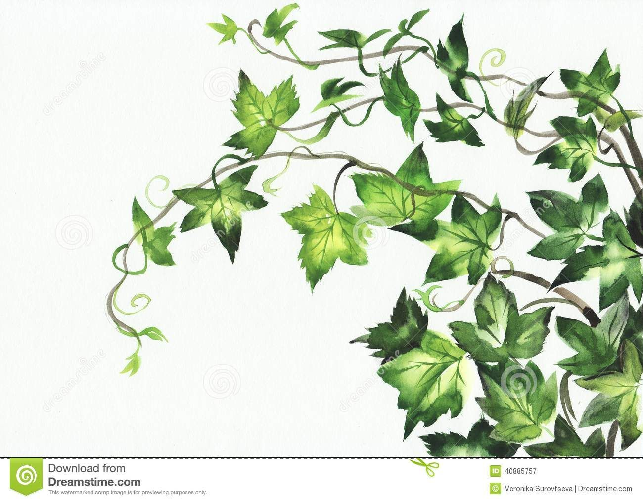 Ivy leaves watercolor painting young branches isolated white ivy leaves watercolor painting young branches isolated white biocorpaavc Gallery