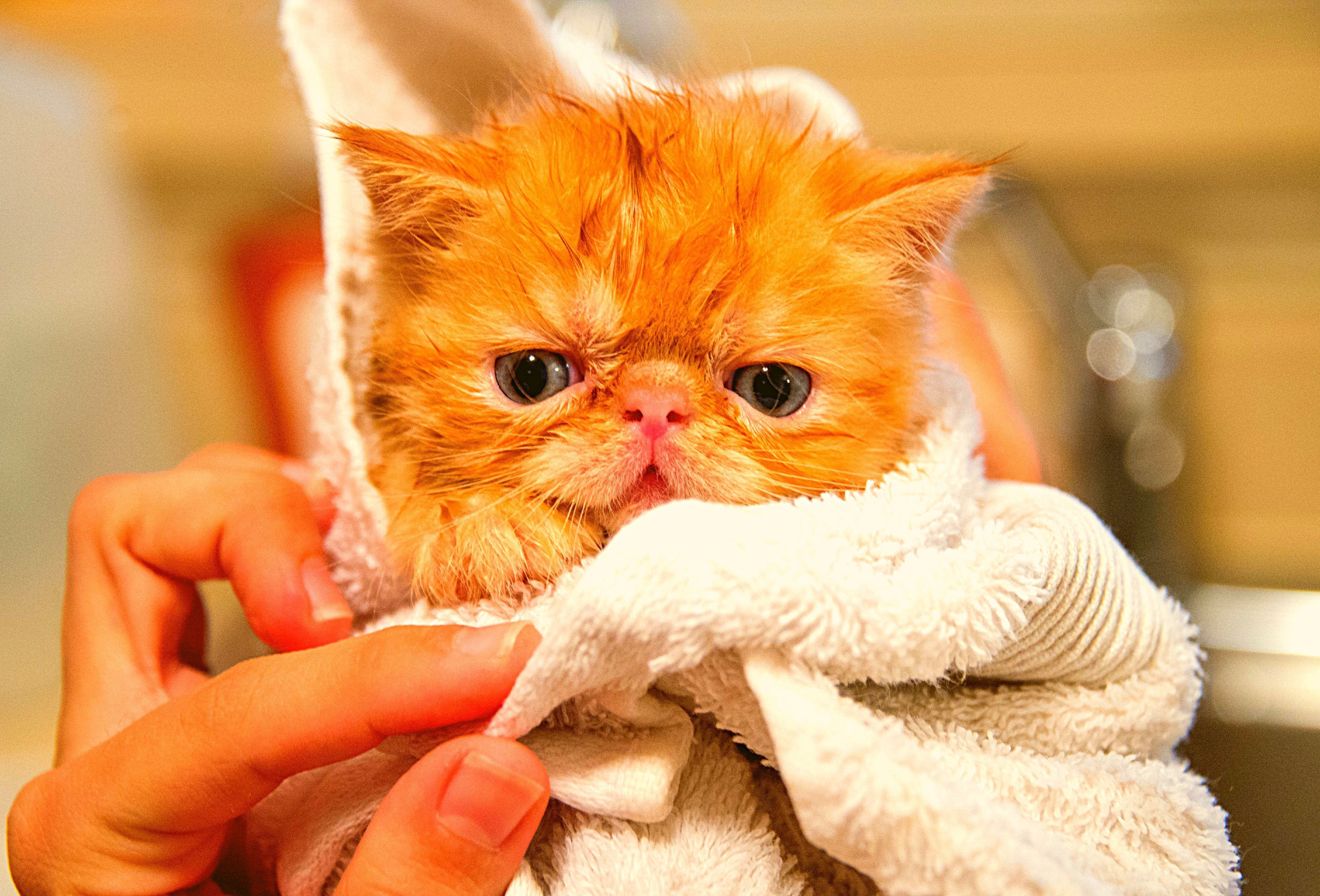 How To Give Cat A Bath? Can You Give A Cat A Bath Cat