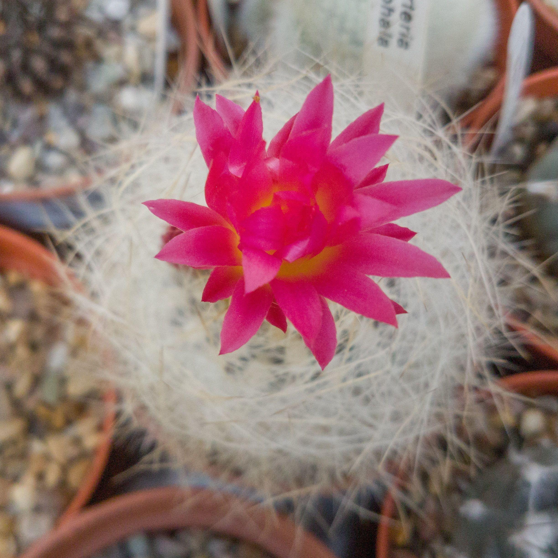 Neoporteria Gerocephala A Pretty Pink Flower In A Head Of Soft