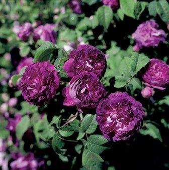 Quelle terre pour les rosiers rosier ancien parfume cardinal de mon jardin de roses - Quelle terre pour hortensia ...