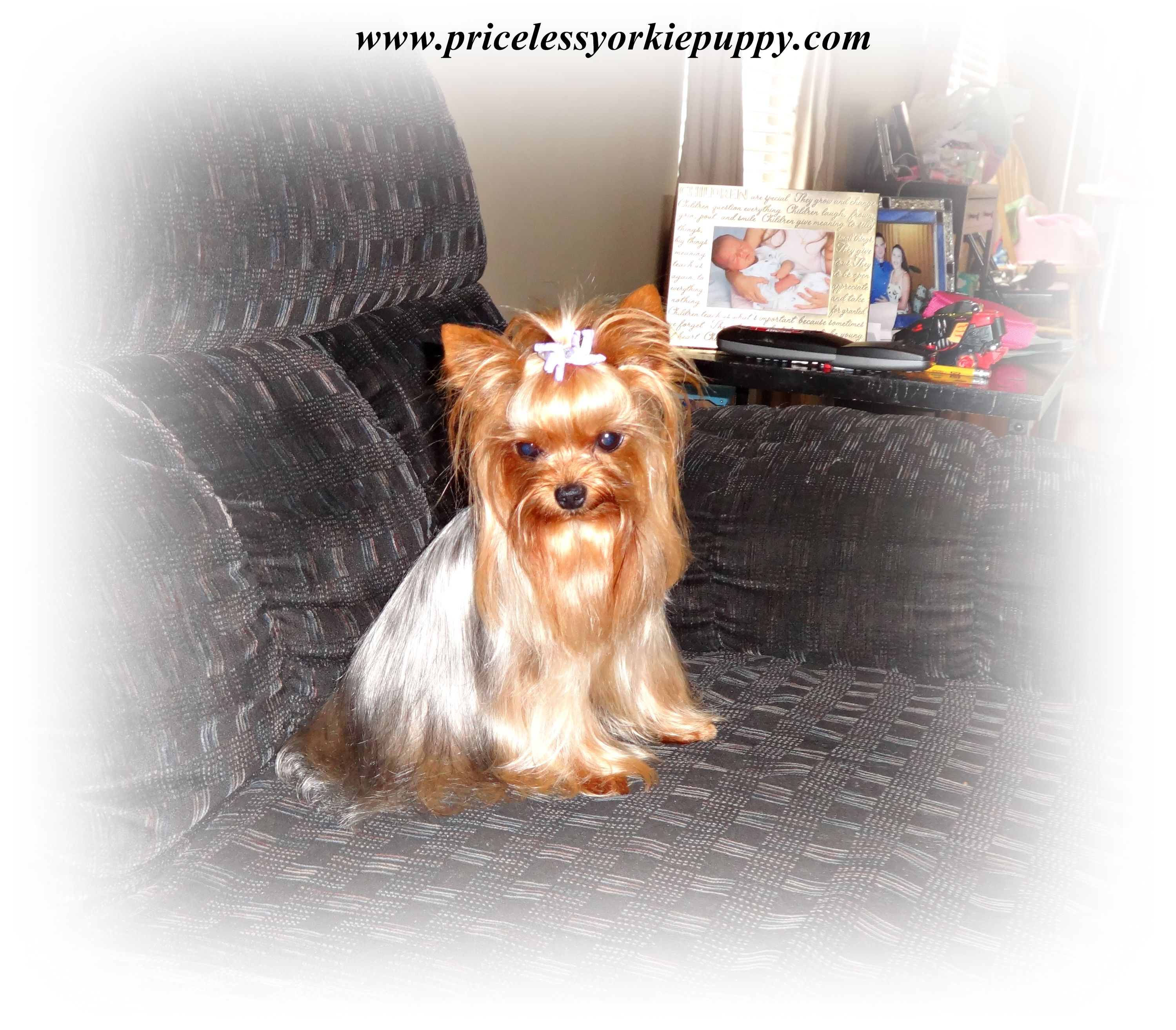 Michigan Teacup Yorkshire Terrier Puppy Breeder Tiny Teacup Yorkie