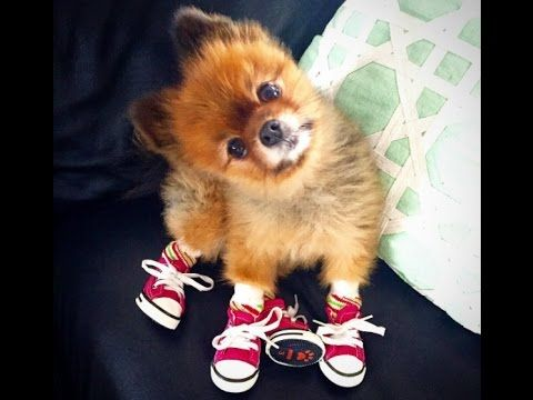 Latest Cute Tiny Dogs Wearing Even Tinier Shoes