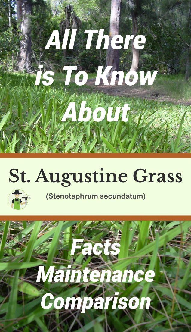 The warmseason grass Stenotaphrum secundatum is also