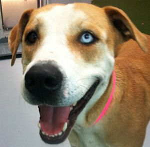 *CHEYENNE-ID#A724461  Shelter staff named me CHEYENNE.  I am a spayed female, tan and white Pit Bull Terrier mix.  The shelter staff think I am about 1 year and 8 months old.  I have been at the shelter since Jul 29, 2013.