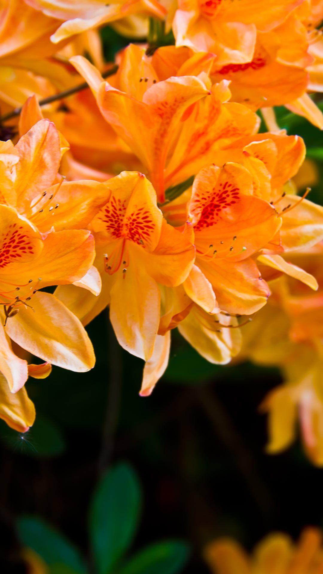Light Orange Flowers Iphone 6 Plus Wallpaper Orange Wallpaper Flower Iphone Wallpaper Flower Wallpaper