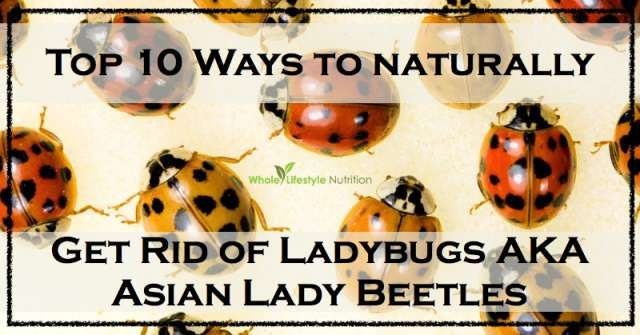 Top 10 Natural Ways To Get Rid Of Ladybugs Aka Asian Lady Beetles Whole Lifestyle Nutrition Lady Beetle Asian Beetle Beetle