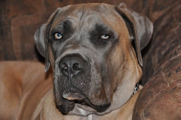 Shad Cane Corso Cane Corso Wikipedia The Free Encyclopedia х