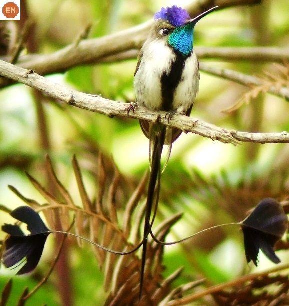 Chim Ruồi đuôi thìa tuyệt mỹ Peru | Marvellous spatuletail (Loddigesia mirabilis)(Trochilidae) IUCN Red List of Threatened Species 3.1 : Endangered (EN) | (Loài nguy cấp)