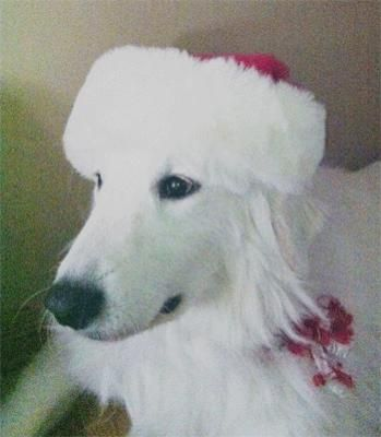 Great Pyrenees Rescue Ladybelle: WOW When you said Ladybelle was a protector you werent kidding!!!   There was a guy breaking into cars in the neighborhood the night before last at 3am...