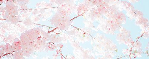 #sakura ㅇㅅㅇ - Source:meiji-choco