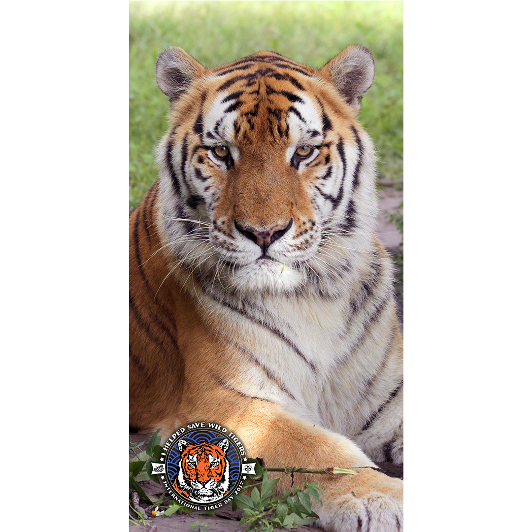 You Can Now Take Tj Tiger With You To The Beach We Designed A Unique Line Of Merchandise Including This Tj Tiger Beach Towel Fo Big Cat Rescue Big Cats Cats