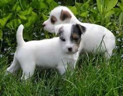 Parson Russell Terrier Dog Breed Information   Parson ...