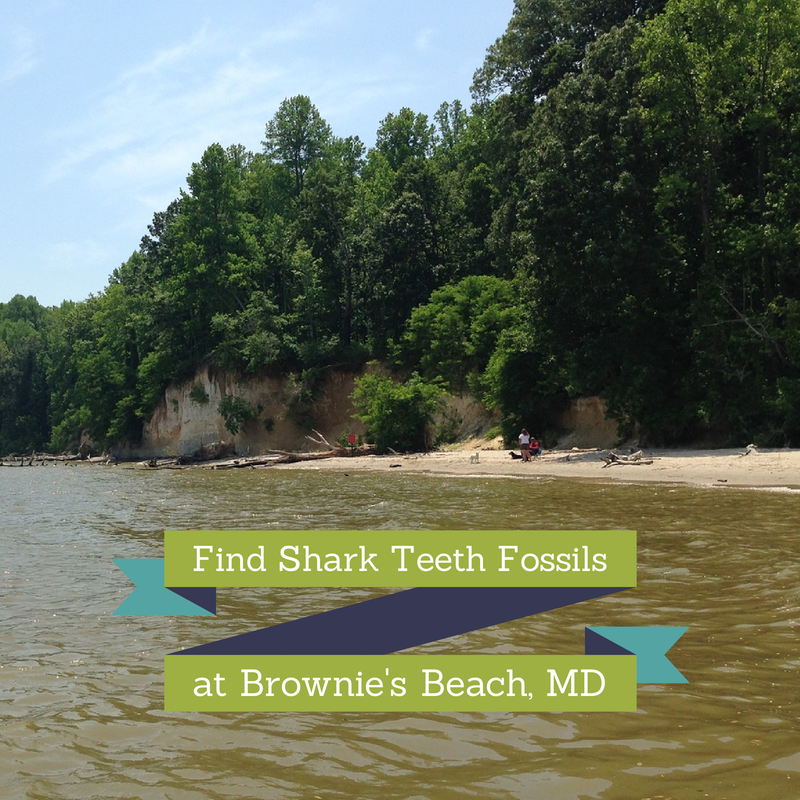 Find Shark Teeth Fossils at Brownie's Beach, MD ...