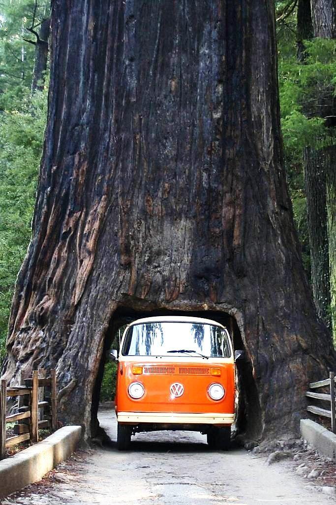 CA – Chandelier Tree, Drive-Thru Tree Park, Leggett, Mendocino ...