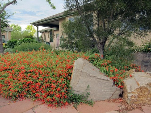 Zauschneria Garrettii Orange Carpet Xeriscape Butterfly Garden Backyard Garden