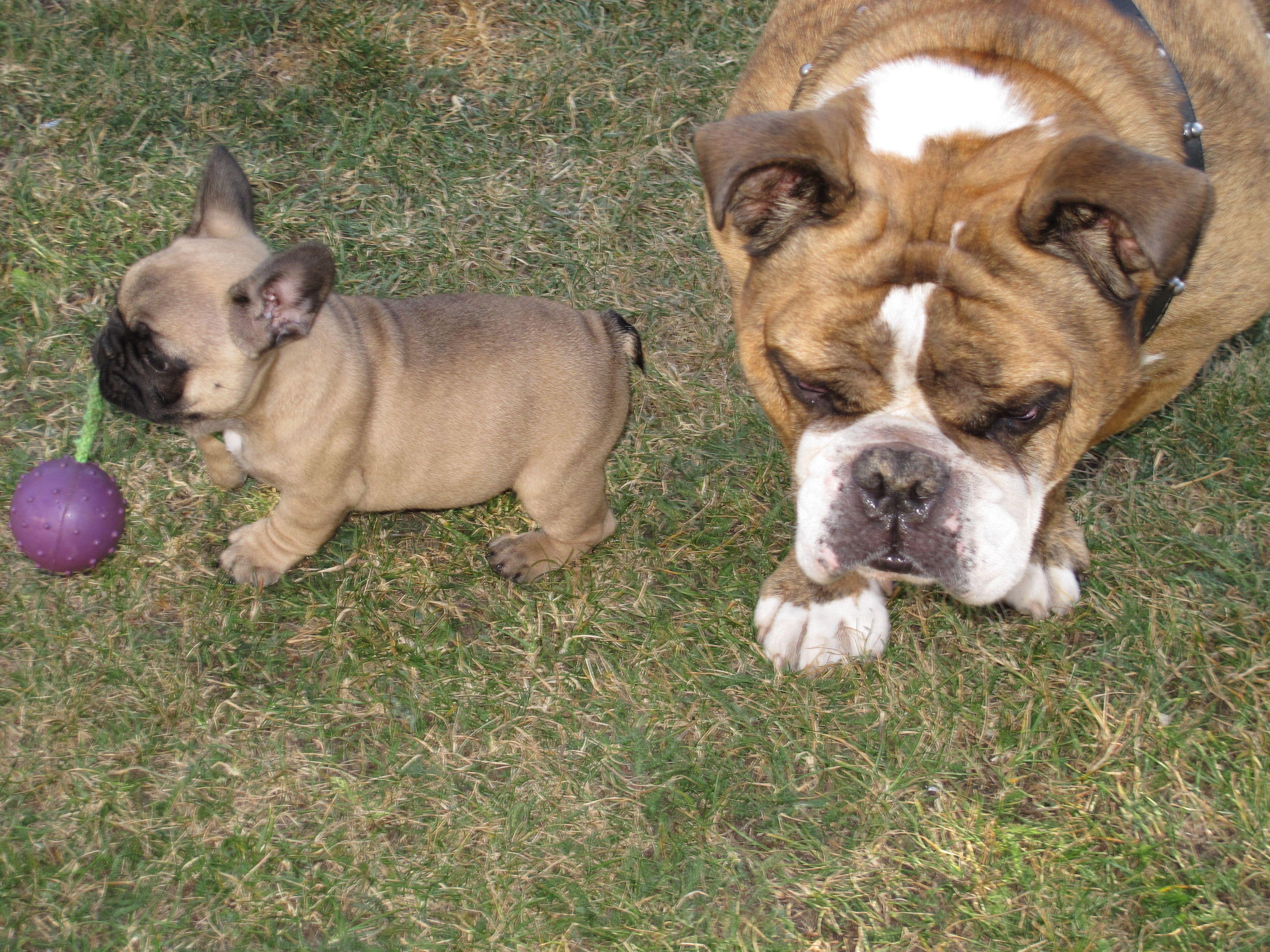 Bentley And Boda English And French Bulldog French Bulldog Bulldog Dogs