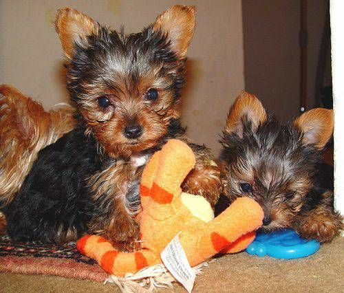 Pin on Teacup Yorkies Available At Cheap Prices
