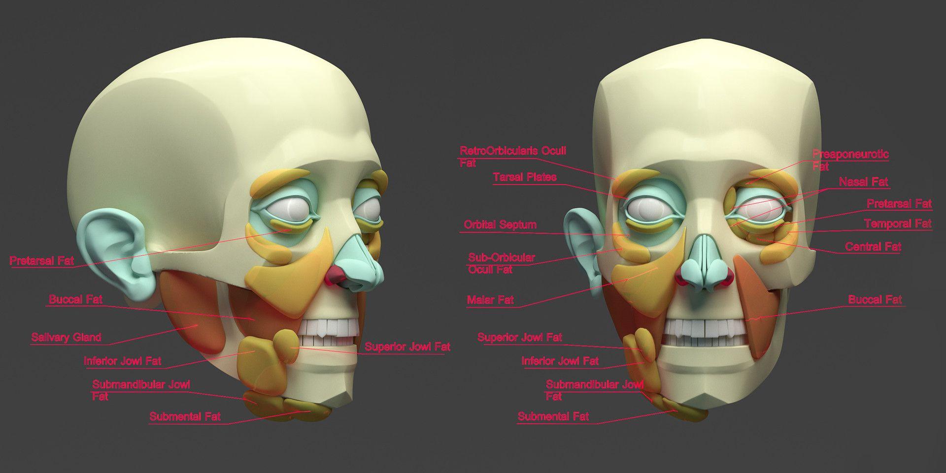 ArtStation - Face Fat Pads, Aleksandrs K   Anatomy - Human ...