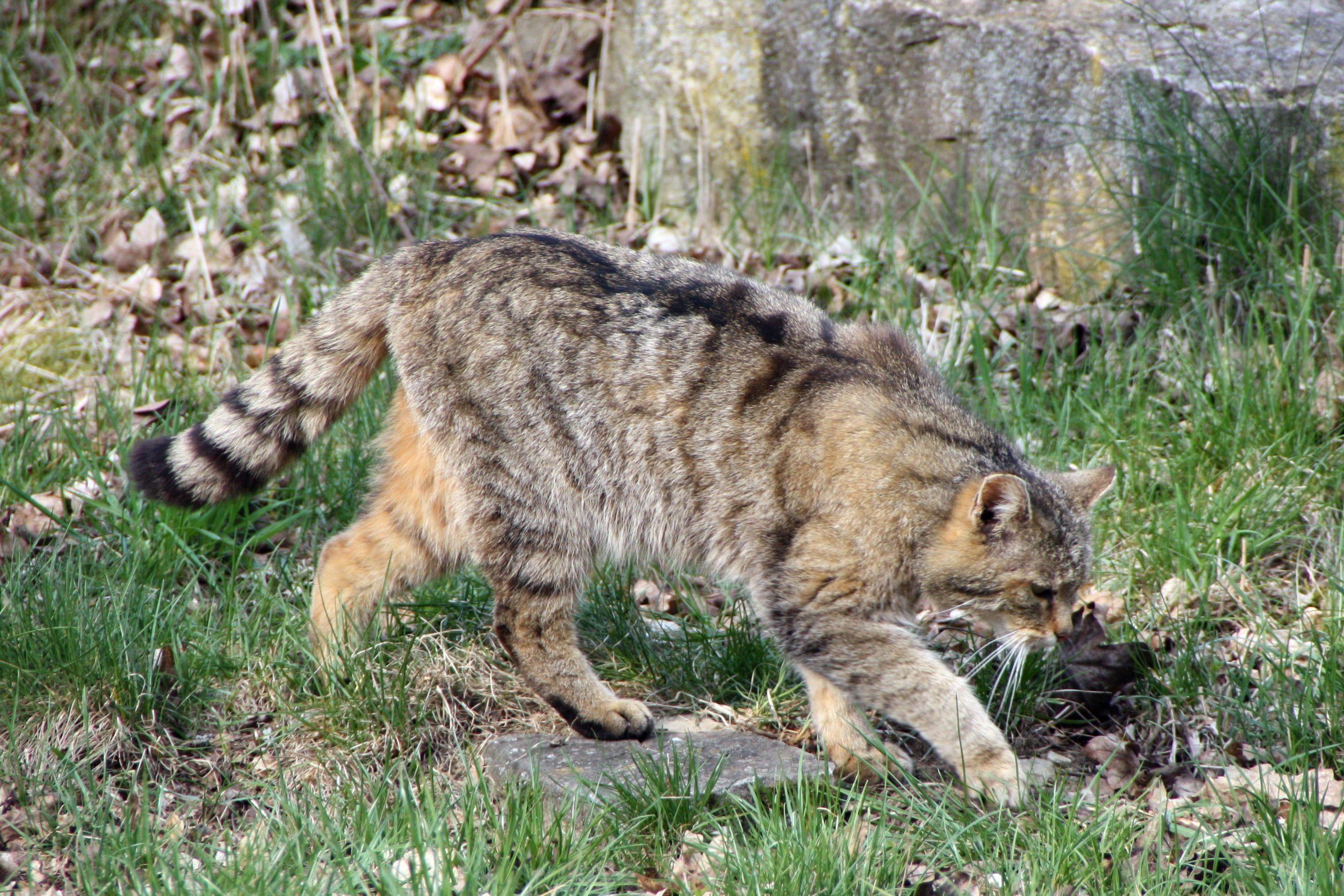 Schwarzwald wildcat - Google Search