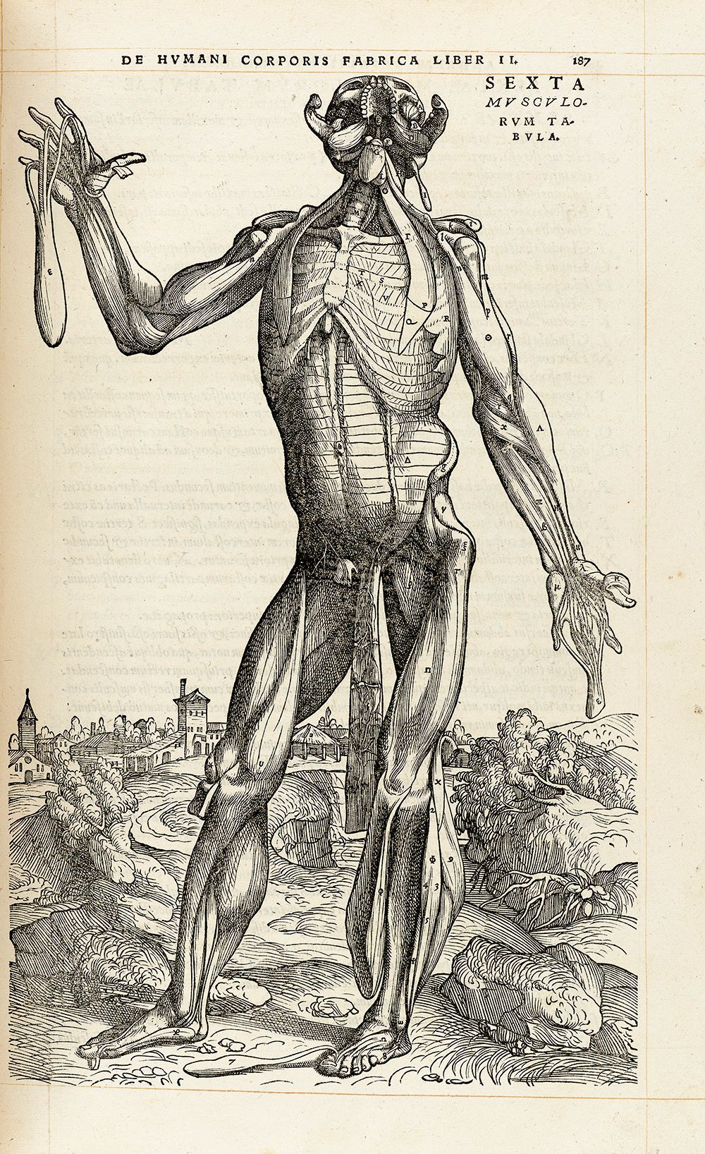 Muscle Man Vi By Andreas Vesalius 1543 Renfields Fine Art