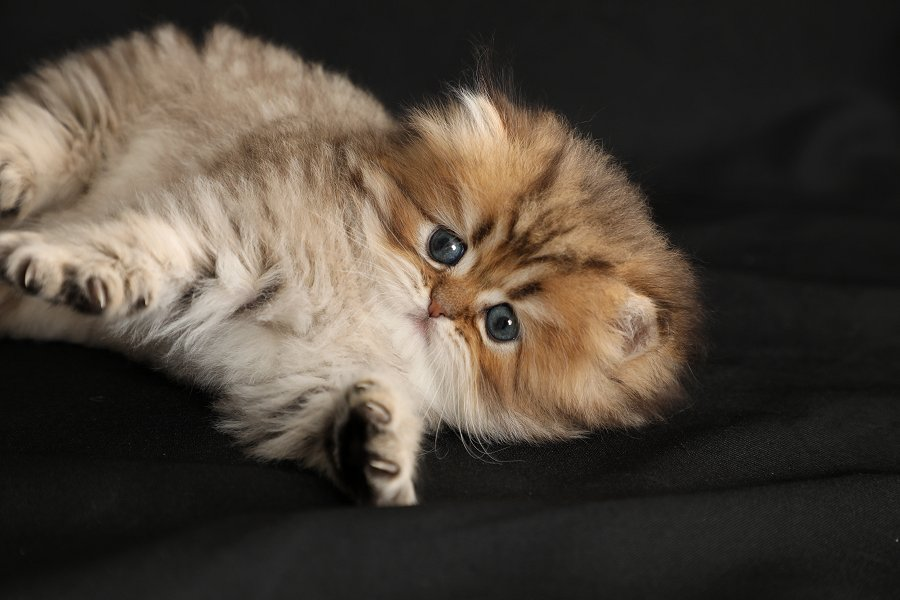 Mr Cuddlesworth Shaded Golden Persian Kitten Cute Cats And Dogs Cat Adoption Persian Kittens