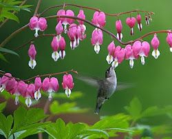 My Hiding Place My Days Are Like A Shadow That Lengthens Hummingbird Flowers Bleeding Heart Flower Bleeding Heart