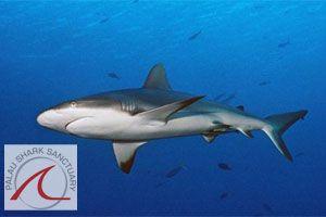 Palau: World's first Shark Sanctuary