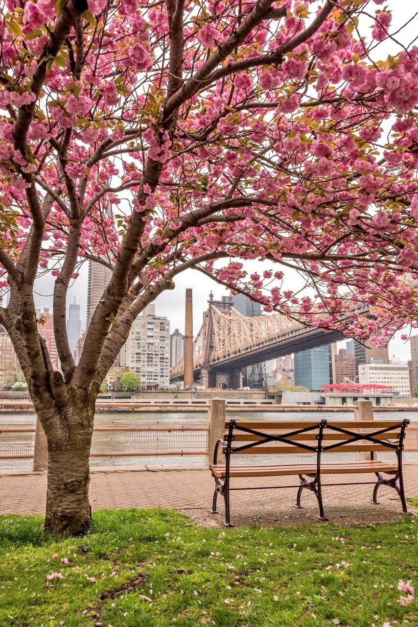 Roosevelt Island Cherry Blossom By Greg Torchia Spring In New York Roosevelt Island New York Travel