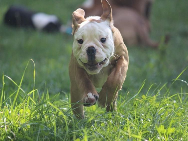 Continental Bulldog Welpen mit Papieren Bulldogge