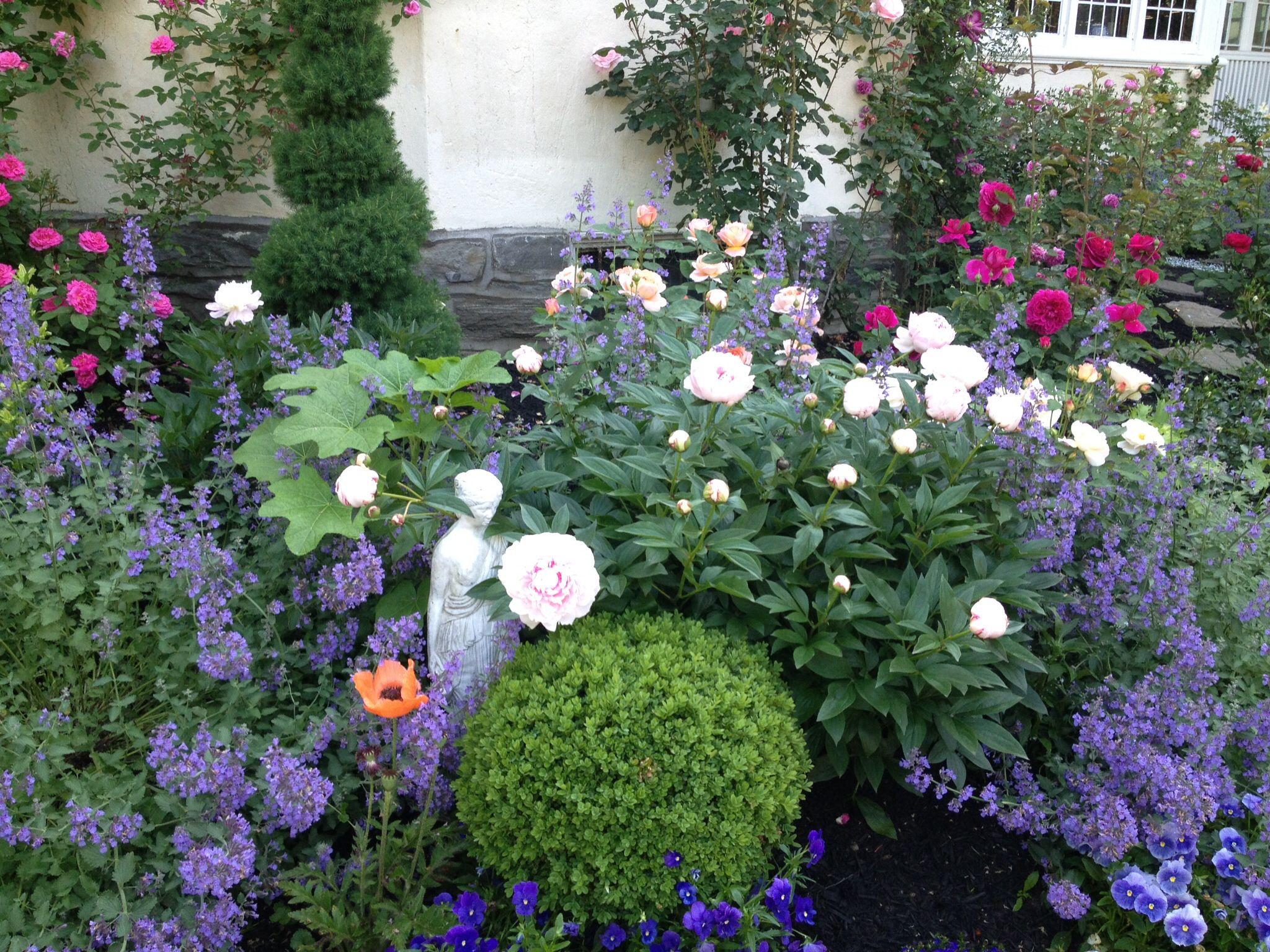 Boxwood Catmint Peony Roses In My Garden My Garden