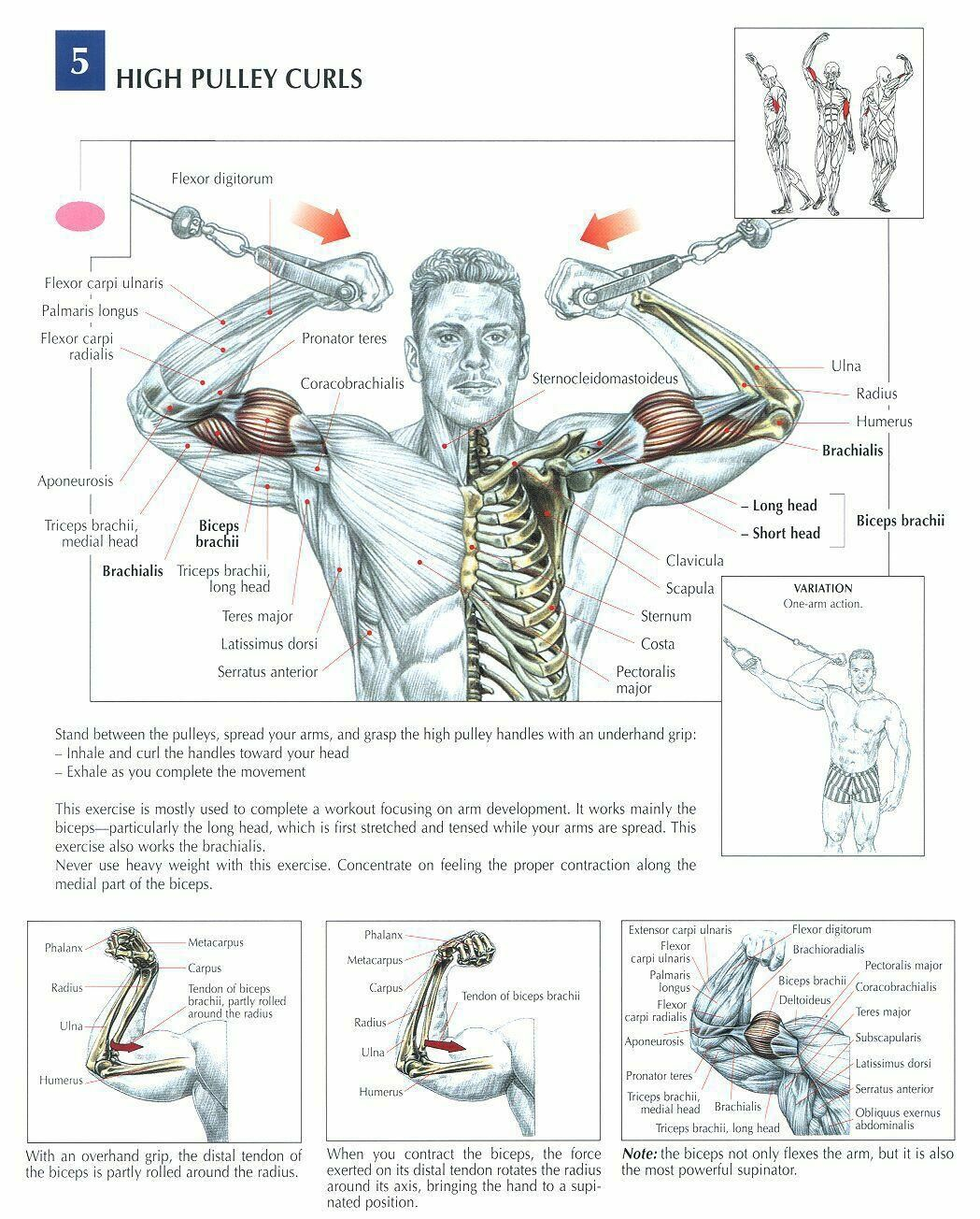 High Pulley Curls ♢ #health #fitness #exercises #diagrams #body ...