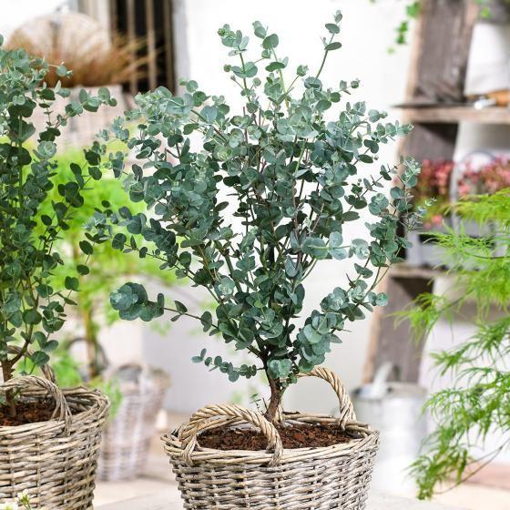 Eis-Eukalyptus Azura, im ca. 20 cm-Topf online kaufen bei Gärtner Pötschke
