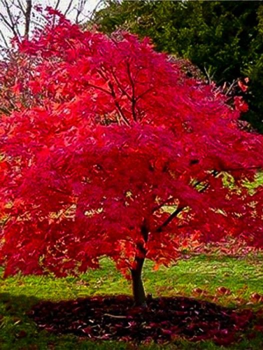 Flame Amur Maple Zone 3 Google Search Red Maple Tree Tree Care Pretty Trees