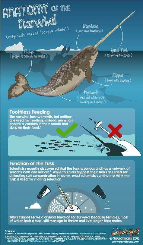 Anatomy Of The Narwhal Monodon Monoceros Sea Life Pinterest