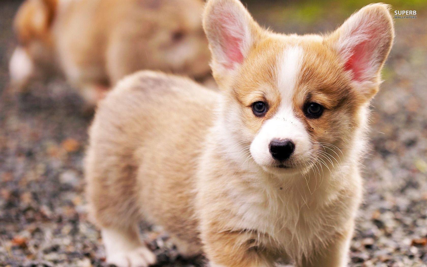 Corgi Puppy Google Search Welsh Corgi Puppies Baby Animals