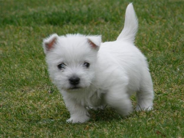 Des Phillip S Puppy Maron West Highland Terrier Puppy Terrier Puppies White Terrier