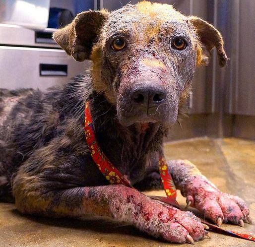 Sick with several infections that ate away her coat and swelled her paws, an abandoned dog gets the medical care she needs. See her inspirational transformation.   Click here to watch this video: http://www.wimp.com/inspiringtransformation/