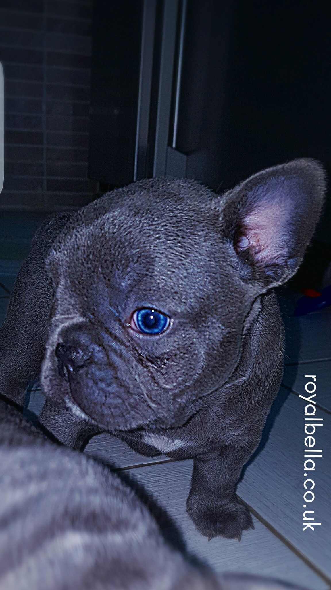 Frenche Puppies By Royalbella Co Uk The Bulldog Breeder Royalbella Royalbellabulldogs Royalbellacouk French Bulldog Blue French Bulldog French Bulldog Puppy