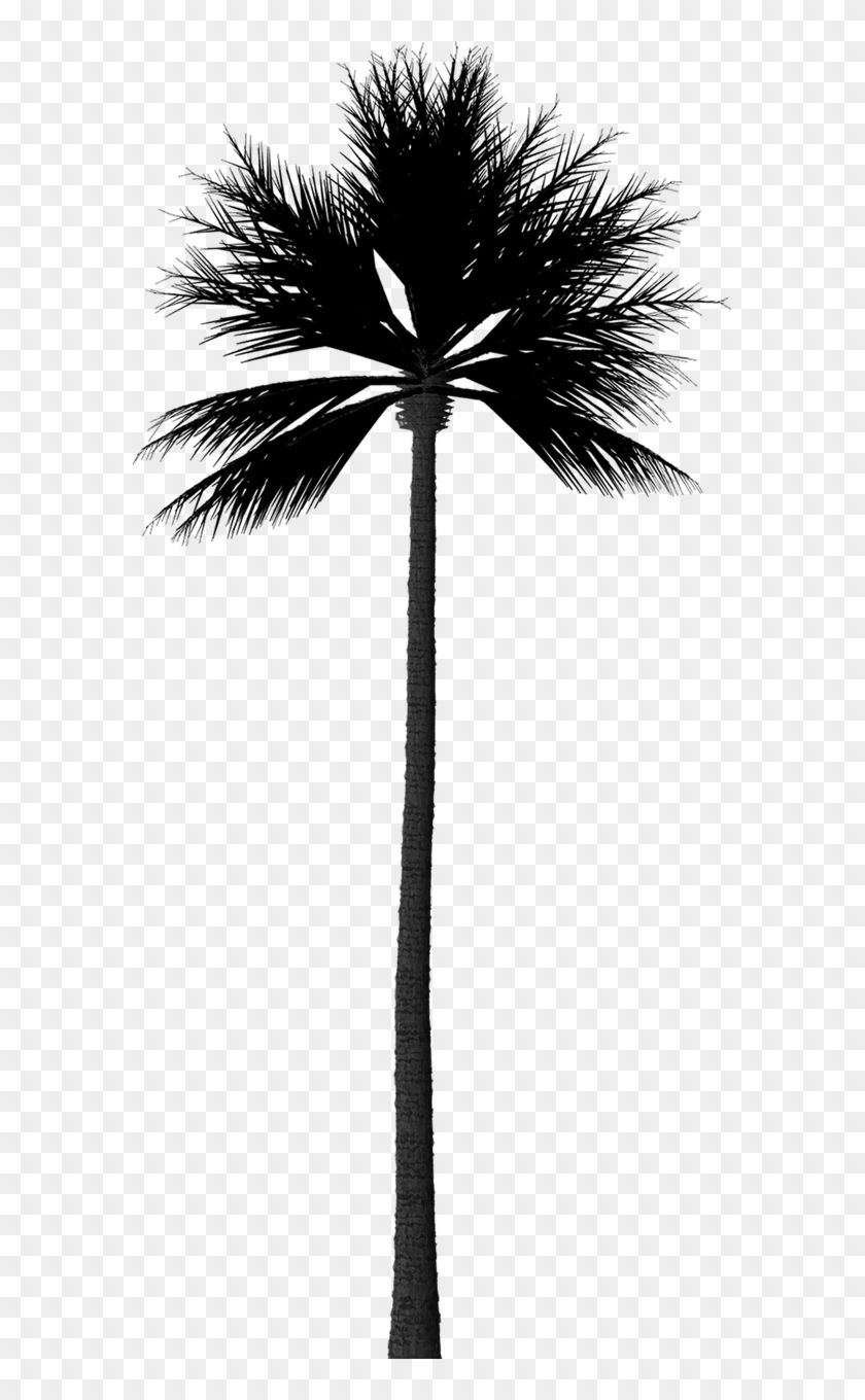 Find Hd Silhouette Palm Tree Fan Palm Tree Silhouette Hd Png Download To Search And Download More Fr Palm Tree Silhouette Tree Silhouette Palm Tree Outline
