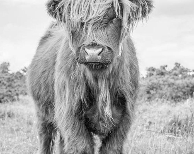 Highland cow print canvas black and white colour art for sale by