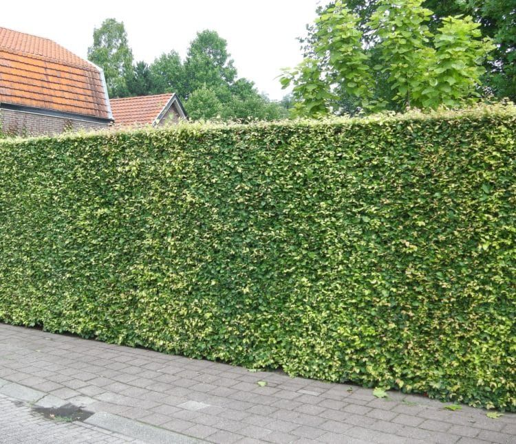 Most People Today Look For Tall Hedges At Low Costs For