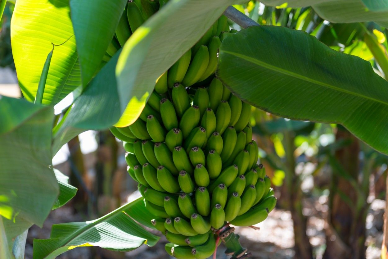Wenn man gerne Bananen isst, sollteman sich gut überlegen, welche Bananen man zu sich nimmt.Da es sich bei den Bananen um kein heimisches Obsthandelt, stelle ich den Konsum dieser Früchte eh in ...