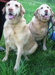 Adopt Luke Graham A Bonded Pair On Petfinder Labrador Retriever Yellow Labrador Retriever Labrador Retriever Dog