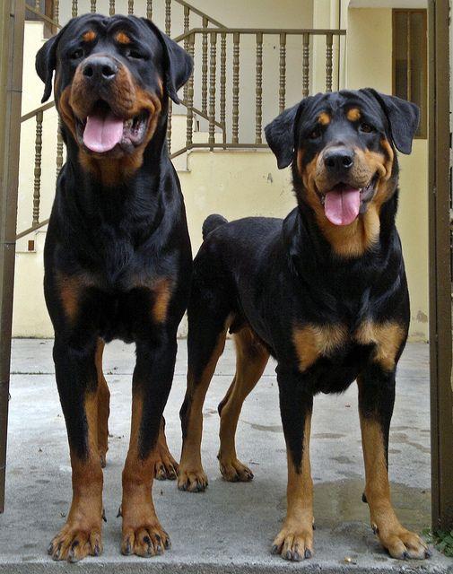Kaiser Akira Rottweiler Rottweiler Breed Dog Best Friend