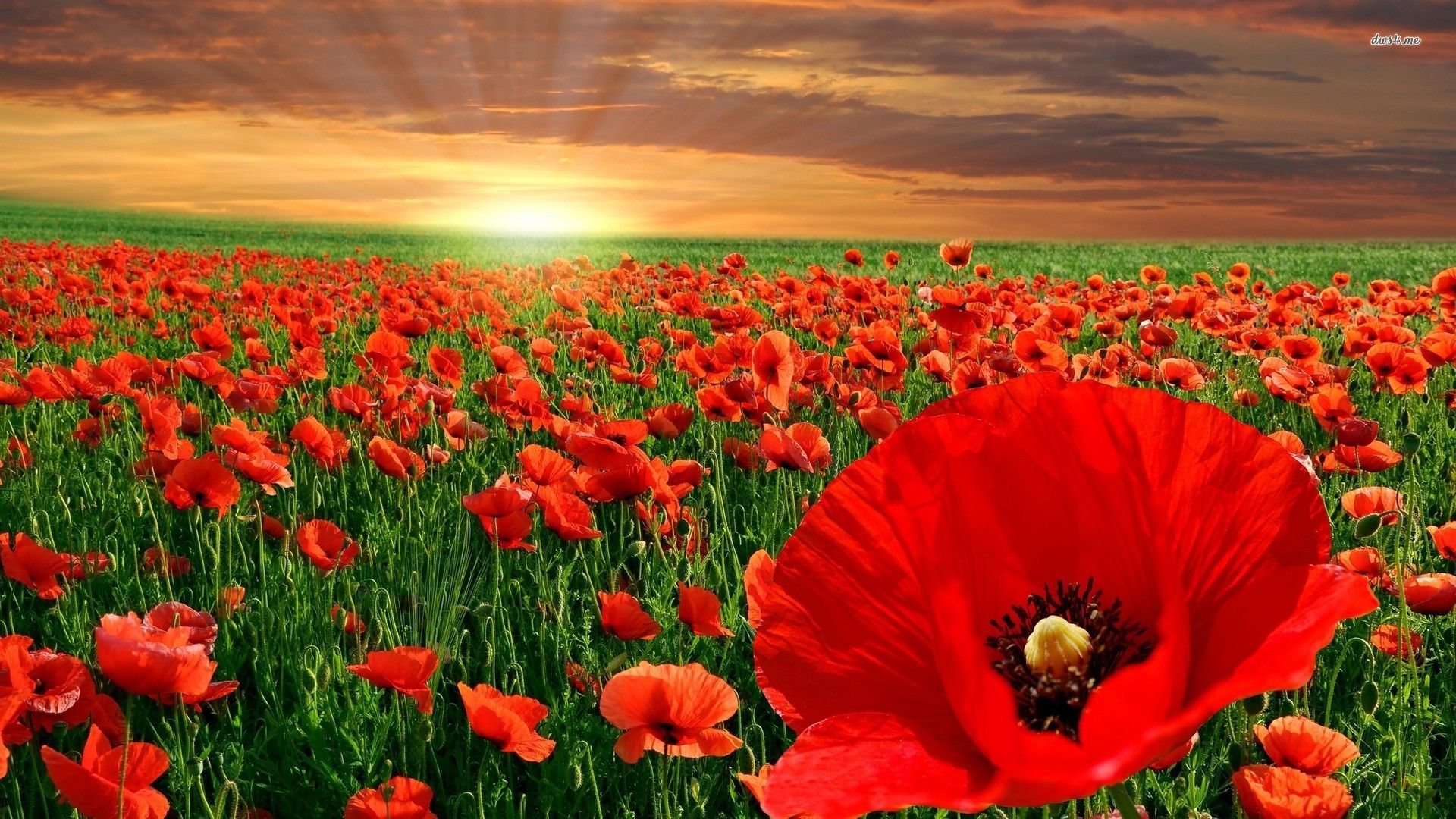 Pin by rezzan mentese on flowers pinterest poppies flower nature archives page 20 of 41 damnwallpapers mightylinksfo