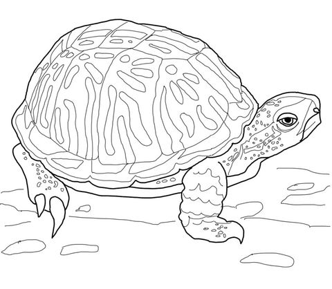 Ornate Box Turtle Coloring Page Free Printable Coloring Pages
