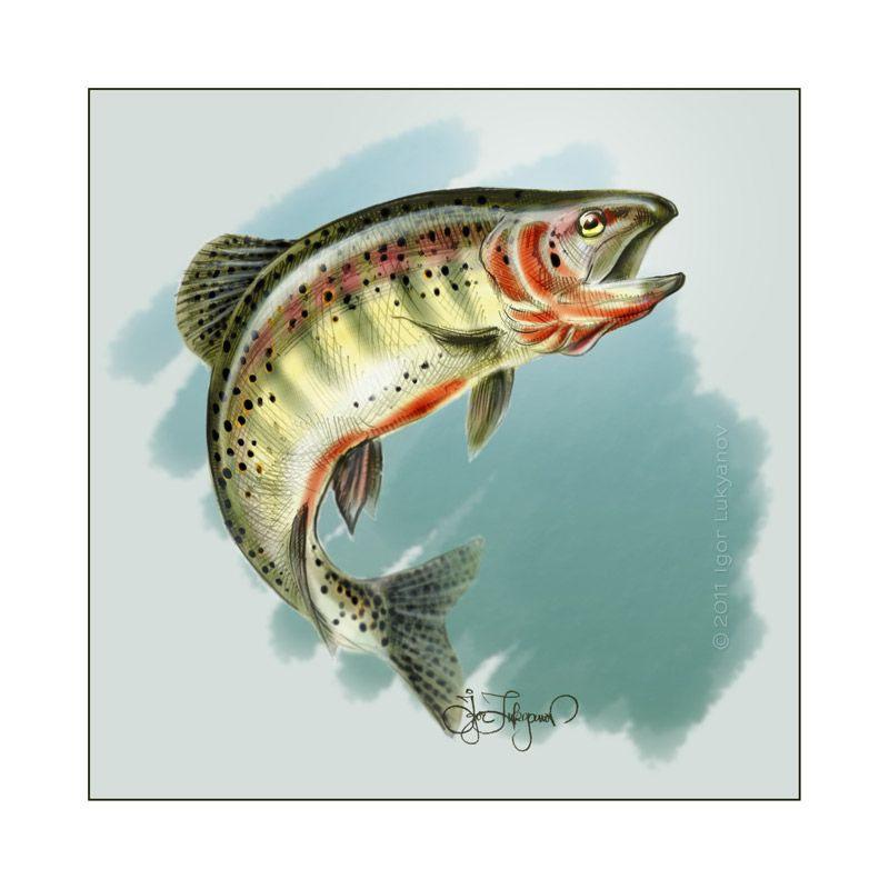 Color Trout Fish Drawing My Trout Stream Coffee Table
