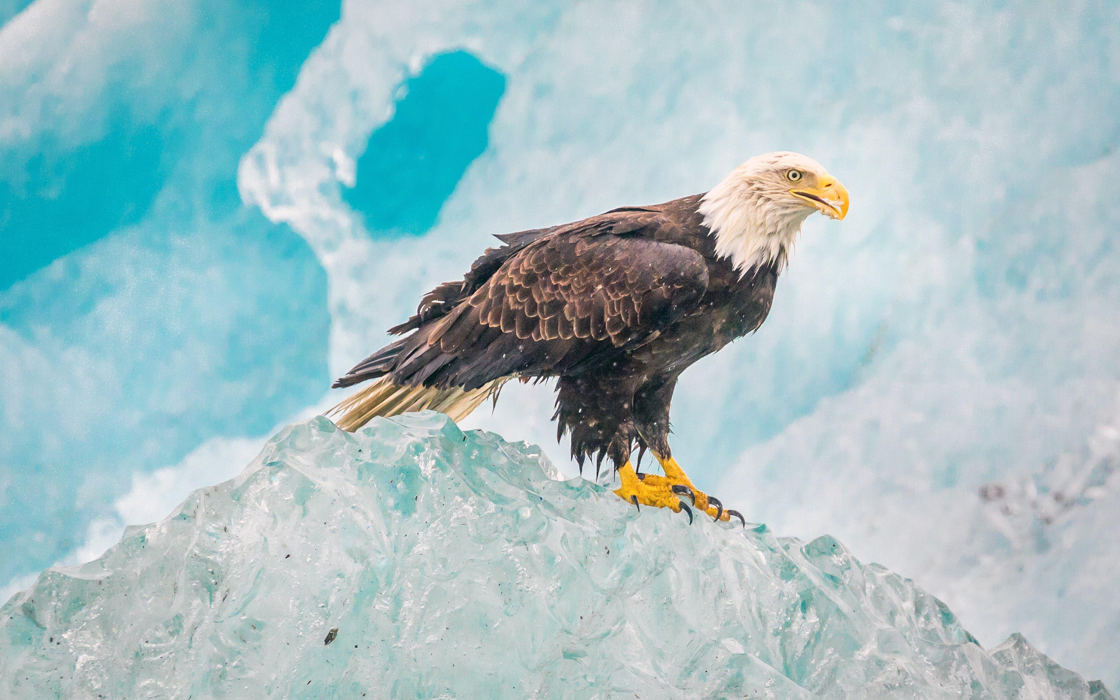 3840x2400 Eagle 4k Macbook Wallpapers Hd Bald Eagle Alaska Wallpaper Eagle