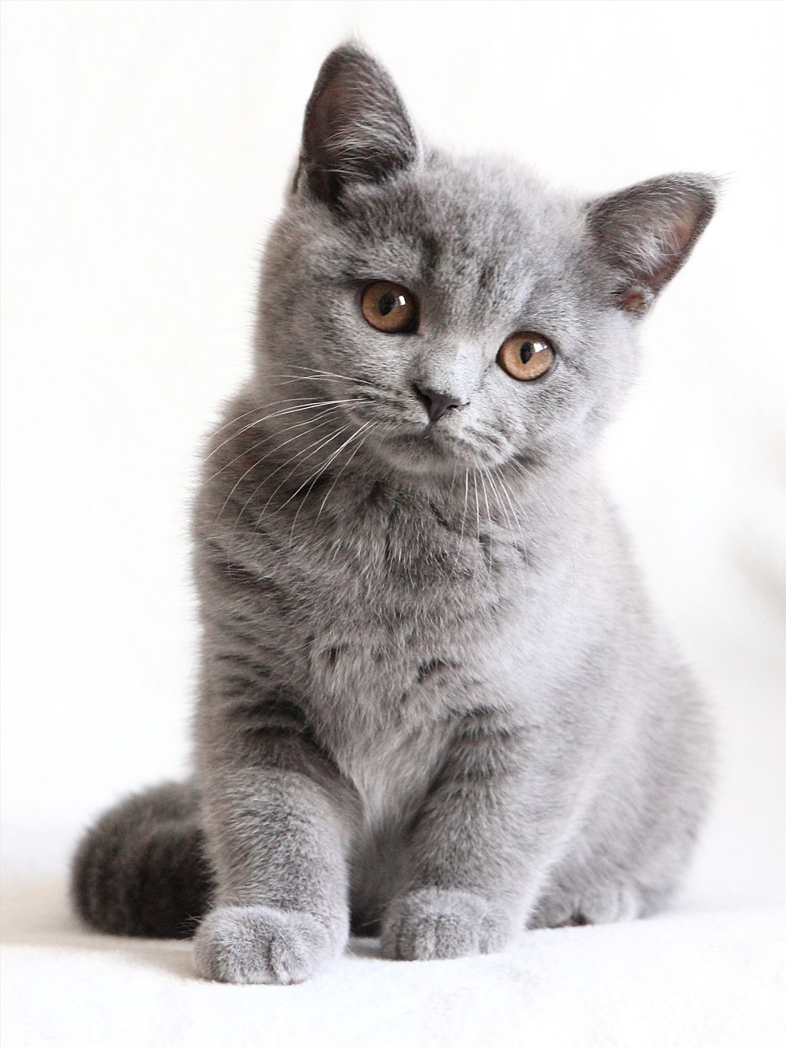 british short hair kittens - HD 1536×2048