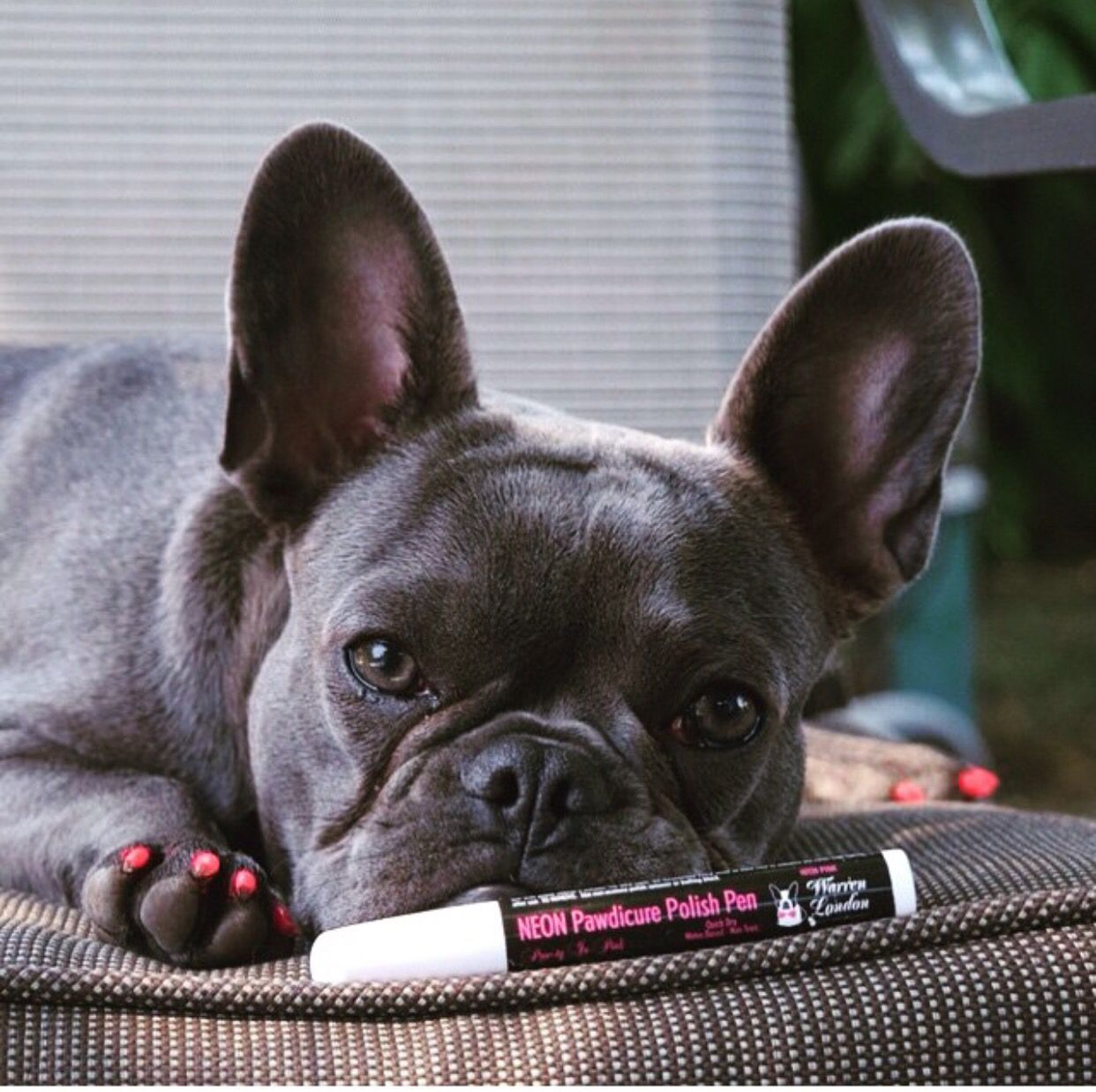 French Bulldog With Neon Orange Nails Made With The Dog Friendly